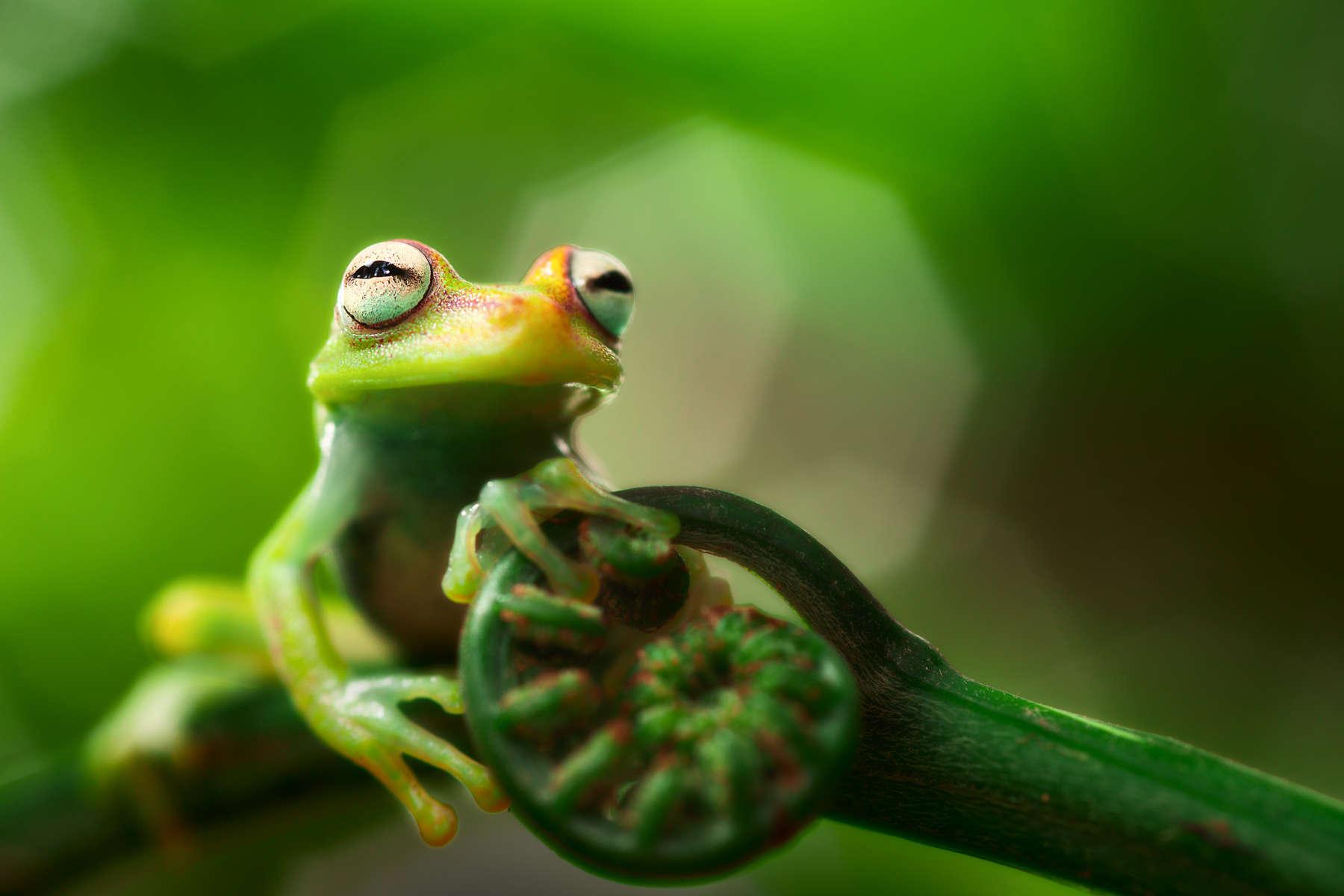 Teee frog Hypsiboas punctatus